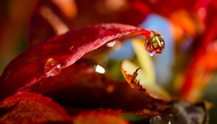 Dewdrop (Aestheticshots) Tags: red plant hot macro reflection sexy nature water beautiful leaf waterdrop warm dof power bright bokeh sharp dewdrop clear heat valentinesday bokelicious tokina100mm d7000 aestheticshots
