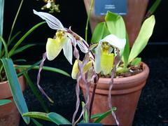 Paphiopedilum philippinense (Jungle Garden) Tags: kew orchids 2016