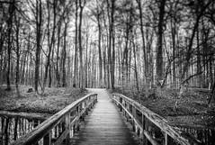 The Bridge (KJ Photographie) Tags: morning bridge autumn trees blackandwhite black tree forest river germany bach landschaft wald bagno bume morgen baum schwarz seebrcke schwarzweis burgsteinfurt blumenundpflanzen