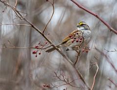 Elegance (brianproal) Tags: birds whitethroatedsparrow avairy