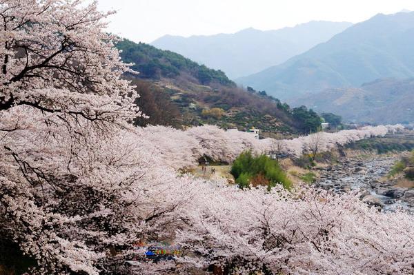 Tour du lịch Hàn Quốc ngắm hoa anh đào giảm 3,9 triệu đồng