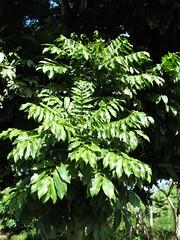 starr-091104-0892-Castanospermum_australe-leaves-Kahanu_Gardens_NTBG_Kaeleku_Hana-Maui (Starr Environmental) Tags: castanospermumaustrale