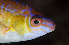 DSC_3784 (bajo_el_mar) Tags: pez asturias lastres cantbrico lbrido fotosub 2013 centrolabrusexoletus