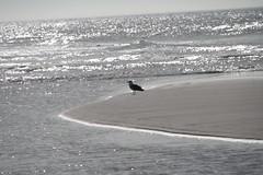 Taking a Rest (Vasquezz) Tags: sea bird meer gull northsea dnemark danmark nordsee vogel mve hvidesande