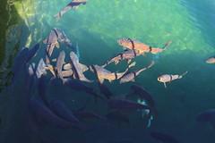 Crdoba - carpe Real Alcazar (Valiena) Tags: trip holiday water spain piscina espana cordoba koi acqua viaggio cordova vacanza spagna bellezza carpe emozioni vasca kioifish
