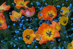 Brilliance of Tulips (Fe 108Aums) Tags: spring tulips quote enjoy yinyang abundance forgetmenots colortherapy johnpetitsenn
