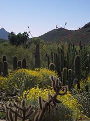 Blooming brittlebush in the Cactus Garden, Arizona-Sonora Desert Museum (Distraction Limited) Tags: flowers arizona nature tucson desertmuseum arizonasonoradesertmuseum brittlebush incienso encelia enceliafarinosa cactusgarden goldenhills cotx hierbadelvaso asdm20160321
