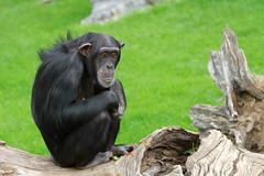 Chimpanzé (olivier.ghettem) Tags: africa valencia spain ape chimpanzee espagne primate valence afrique singe chimpanzé chimpancé afriqueéquatoriale bioparcvalencia