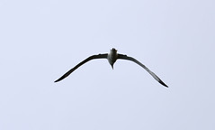 Royal Albatross (johnd2008) Tags: newzealand birds animals walks southisland otago dunedin