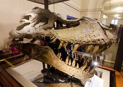 Sue Skull (Josh Thompson) Tags: chicago fossil skull dinosaur fieldmuseum sue tyrannosaurusrex sigma1020mmf456exdc d7000 lightroom5