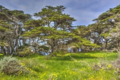 Cypress Trees in a Grove (Explore 4/6/16 #236) (joe Lach) Tags: california trees sky green grass grove yellowflowers cypresstrees montereypeninsula pointlobosreserve allanmemorialgrove joelach