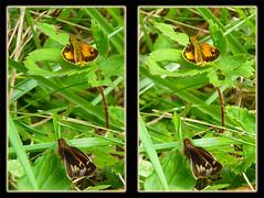 Poanes Zabulon, Zabulon Skipper Butterflies 1 - Crosseye 3D (DarkOnus) Tags: macro closeup butterfly insect lumix stereogram 3d crosseye pennsylvania skipper butterflies panasonic stereo stereography buckscounty crossview poanes zabulon dmcfz35 darkonus