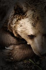 160410222 - Bianca Dekkers (pixelarized) Tags: bear beer ouwehandsdierenpark