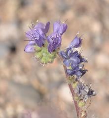 Cleftleaf Wildheliotrope, Phacelia crenulata (Dave Beaudette) Tags: arizona phaceliacrenulata boraginaceae cochisecounty cleftleafwildheliotrope millvillewash