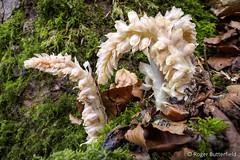 Toothwort (Roger B.) Tags: unitedkingdom derbyshire parasite whitepeak parasitic ashfordinthewater toothwort parasiticplant lathraeasquamaria greatshacklowwood ancientwoodlandindicator