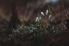 (explore) (evahgrf) Tags: flowers winter plants white plant cold flower nature grass canon germany garden dark outside spring focus 14 adventure explore snowdrop 500d freelensing evahgrf