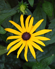 Rudbeckia (Treflyn) Tags: flower wales rudbeckia