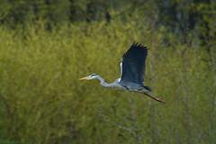 Graureiher im Flug (rieblinga) Tags: park leica berlin raubvogel dmr r8 flug fischreiher graureiher