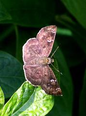 ecosystem/fauna/Indian Common Small Flat(Sarangesa dasahara dasahara)-wet season (biodiversity western ghats) Tags: hesperiidae pyrginae butterflyindia diversityindia celaenorrhinini