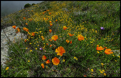 SoCal wildflowers... (LOCK-ness monster) Tags: californianpoppy californiawildflowers