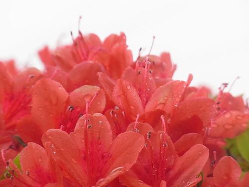 Red azalea mountain