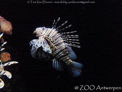 Indische Koraalduivel - Pterois miles - Common Lionfish (MrTDiddy) Tags: fish zoo lion antwerp miles common lionfish vis antwerpen zooantwerpen duivel koraal indische koraalduivel pterois