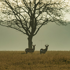 Deer (lunde.mitch) Tags: morning nature sunrise franconia deer unterfranken kitzingen