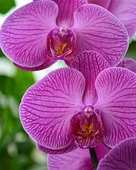 Orchid Pink (pjpink) Tags: pink orchid flower gardens virginia spring richmond northside botanicalgardens rva 2016 lewisginter lewisginterbotanicalgardens pjpink