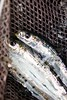 Sardines. (aaronanderson5) Tags: california fish water boat fishing boating westcoast sardines bait sotherncalifornia getoutside