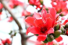 IMG_8664 -  Cheung Sha Wan (Mak_Ho) Tags: flower canon photography hongkong vegetation      cheungshawan  laichikokroad bombaxmalabaricum bombaxceiba   700d kowloon   tonkinstreet  laikokestate