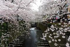 20160405-025-Cherry Blossoms at Meguro-gawa canal (Roger T Wong) Tags: travel holiday japan tokyo canal spring cherryblossoms canonef1740mmf4lusm megurogawa 2016 canon1740f4l canoneos6d rogertwong