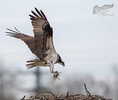 Osprey nesting material 4_25 (krisinct- Thanks for 12 Million views!) Tags: canon mark ii 7d 500 f4