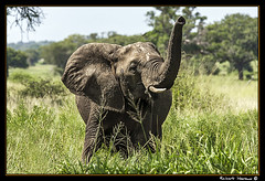 Tarangire 2016 09 (Havaux Photo) Tags: elephant robert rio river tanzania photo lion ostrich leon zebra antelope avestruz giraffe gazelle elefant antilope tarangire elefante riu gacela cebra estru jirafa lleo tarangirenationalpark antilop gasela havaux