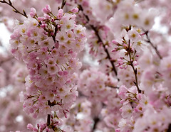 Blooming (TEO DE THUONG) Tags: pink trees flower macro nikon outdoor ngc explore d750 cherryblossom soe tidalbasin twop artofimages