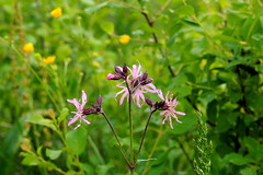 rti kakukkszegf / Ragged Robin (debreczeniemoke) Tags: pink plant flower spring meadow raggedrobin tavasz virg caryophyllaceae nvny rzsaszn kuckuckslichtnelke lychnisfloscuculi silenefloscuculi rt fiordicuculo rtikakukkszegf lychnisfleurdecoucou floareacucului szegfflk olympusem5 illetdesprs cocoei cuculeas scnteiualupului