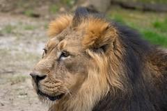 Lion / Lwe (Burnett0305) Tags: germany bayern bavaria nuremberg lion katze katzen mammalia nrnberg lwe carnivora pantheraleo felidae tiergartennrnberg raubtiere sugetiere feloidea groskatzen katzenartige canoneos7dmarkii zooofnuremberg canonef100400mmf4556lisusmii