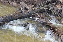 IMG_0297 ( Szczep Wodny Batyk ) Tags: zima wiosna brucetrail snieg wedrowka szczepwodnybaltyk szczepbaltyk silvercreekconservationarea wedrownicy druzyna16ta starsiharcerze