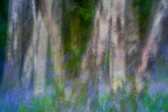 Spring Woods (gerainte1) Tags: flowers trees bluebells spring woods yorkshire icm