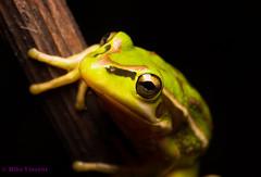 Green & golden bell frog (Hickenbothom) Tags: green golden bell amphibian frog aurea litoria