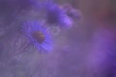 Flou artistique - Soft focus (Solange B) Tags: blur flower fleur nikon violet softfocus flou aster d800 105mm flouartistique solangeb