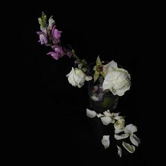 I la rosa florint al bell punt de la nit (llambreig) Tags: love rose paper death spain poetry poem amor mort flor rosa blanca record poesia nit poeta versos memria oblit ptals leveroni desmai castello castellodelaplana porcarnet