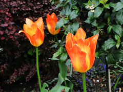Tulpen Oranje (Arthur-A) Tags: orange flower holland netherlands fleur amsterdam nederland tulip oranje bloem tulp