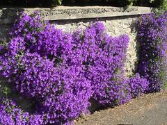 Petite promenade improvise  La Crche (si si, c'est le nom d'une ville !) (nic0v0dka) Tags: fleurs campanule