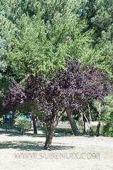 Prunus cerasifera (SUBENUIX) Tags: arbol paisaje cerdanya pirineus prunuscerasifera puigcerd pirineusorientals arbolhojasimple