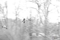 """Easter Day"" Hi-Key Geese. (DigitalDoug - 攝影) Tags: macro is 7 100mm impressions ef f28l canoncanon 5dmii topazbweffects usmlittle lehighparkwayallentowngeeselandingtopaz"