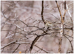 Sizerin flamm, Common Redpoll, Carduelis flammea (beluga 7) Tags: bird canon gatineau oiseau lacleamy carduelisflammea commonredpoll ornithologie outaouais parcdelagatineau 70300mmf4 sizerinflamm leamylake canon7d