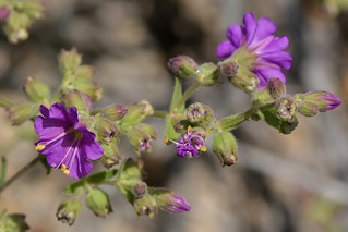 New flower of native California Four O'Clock aka Wishbone Bush (Mirabilis californica, Nyctaginaceae) by the river