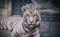 White Tigers of the Maharaja's Temple (Terry ()) Tags: houston whitetiger downtownaquarium