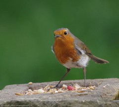 robin  13.05.16 (12) (Simon Dell Photography) Tags: uk red wild england detail bird simon robin garden photography one cool breast bright sheffield best awsome number dell valley wife xxx loved bf gf sute s12 britains hackenthorpe shirebrook uroasian