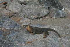 IMG_7617 (chupalo) Tags: landiguana lavarocks islasplaza